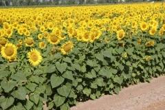 Buen-Herbicida