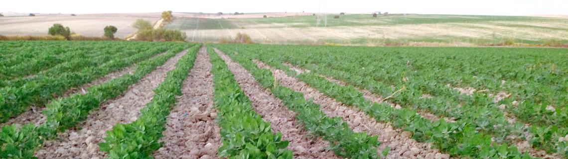 campo-quinoa