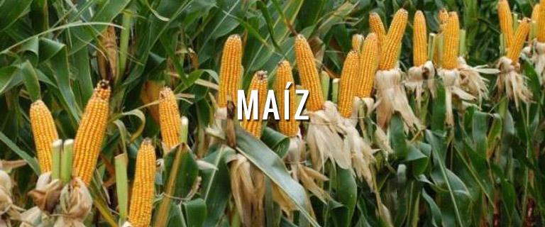 productos-maiz-semillas